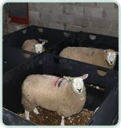Intermediate Sheep Pens Back To Back