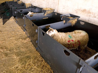 Intermediate 5ft x 4ft Sheep Pens