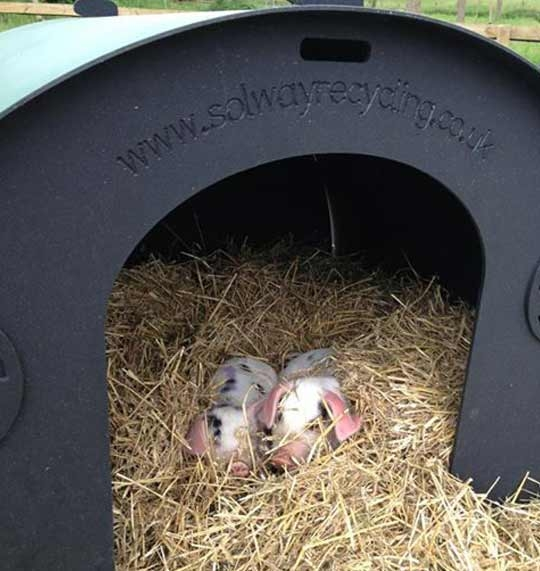 pig ark for sale gift